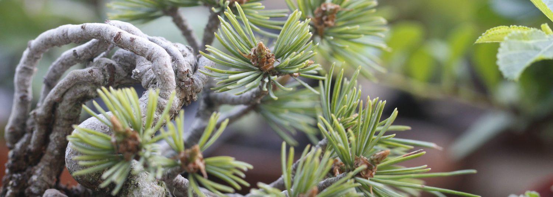 キミの盆栽blog