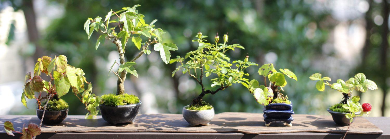 きみの盆栽ブログ